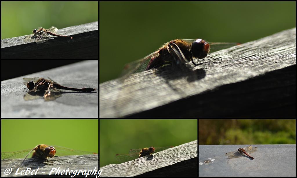 Mme libellule se réchauffe au soleil ! dans Cartes postales 2012-10-15-copier
